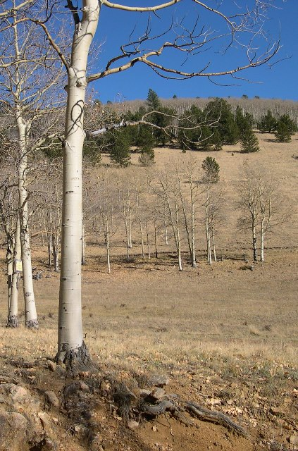 aspen-no-leaves-oct2008-cropped.jpg